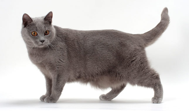 12 Rare Cat Breeds You've Probably Never Heard Of - All Pet Magazine