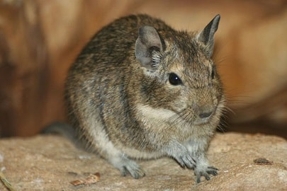 Degus make good pets for kids.