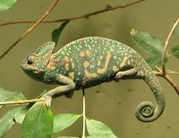 As they are the easiest to take care of, Veiled chameleons make perfect pets for first time chameleon owners.