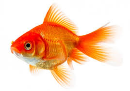 Goldfish doesn't make a good pets for kids.