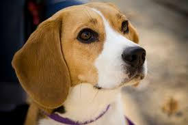 10 reasons why beagles make good pets