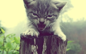 angry-kitten-meow