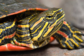 Turtles as pets: painted turtle.